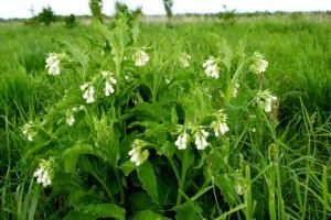 Поднятие потенции травы