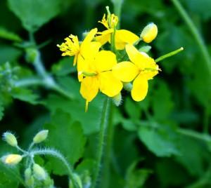 цветок чистотела,чистотел большой,трава чистотела,фото чистотела