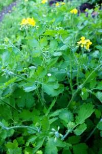трава чистотела,фото чистотела