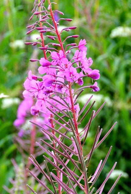 Цветы иван чая | Полезные лесные растения