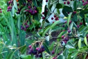 ягоды ирги,снизить давление,продукты снижающие давление