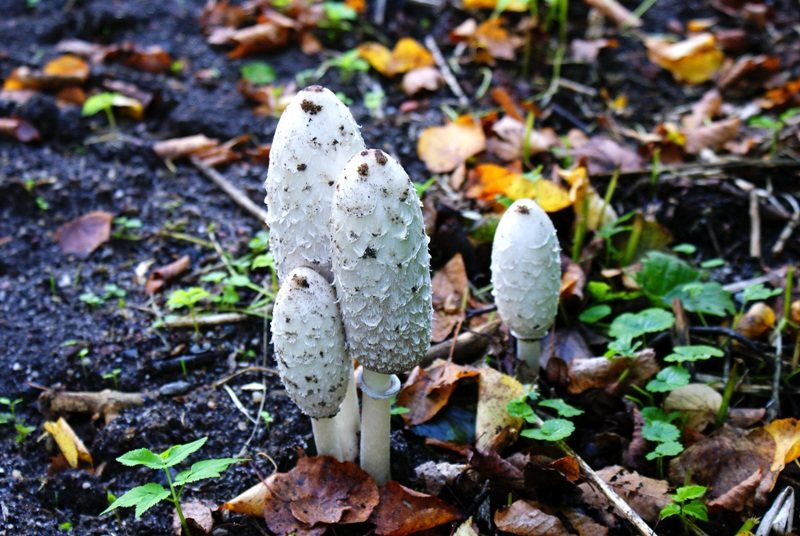 гриб навозник, фото гриба навозника