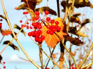 калина,ягоды калины,целебные свойства калины,фото ягод калины