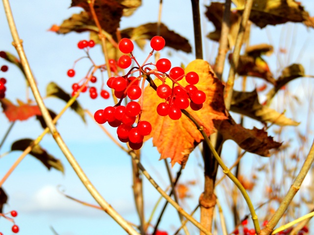 калина,ягоды калины,целебные свойства калины