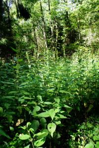 крапива двудомная,ранозаживляющие растения